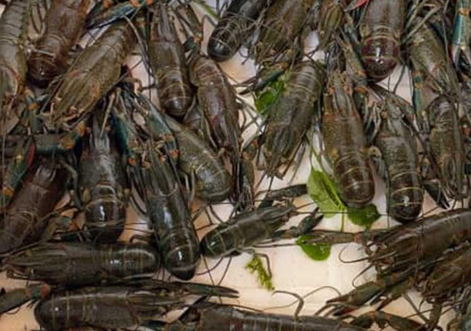 Harga Jual Lobster Air Tawar