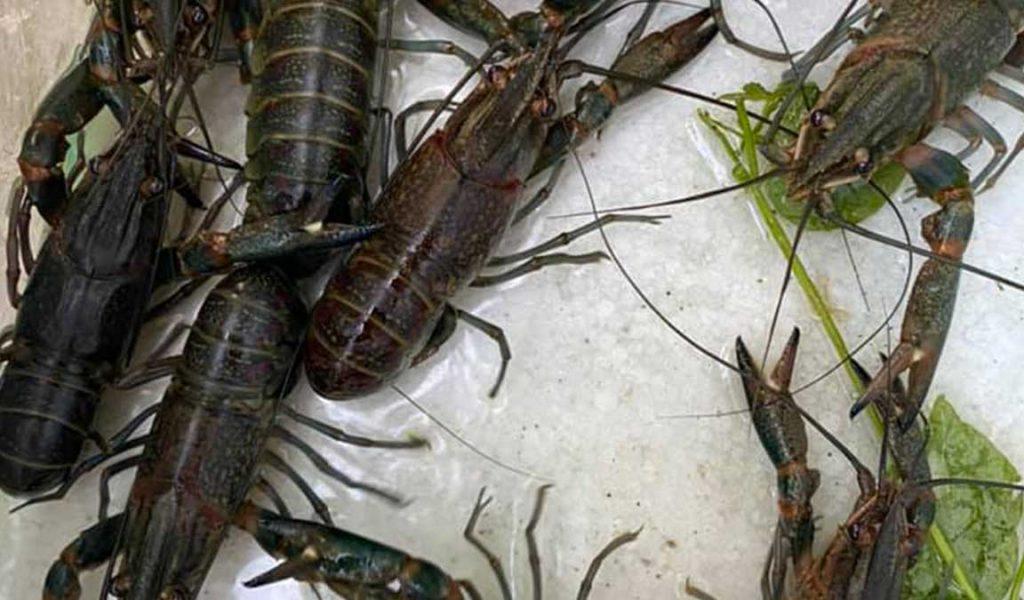 Berapa Harga Jual Lobster Air Tawar Dipasaran Aplikasi Pertanian Media Agribisnis Gdm Agri