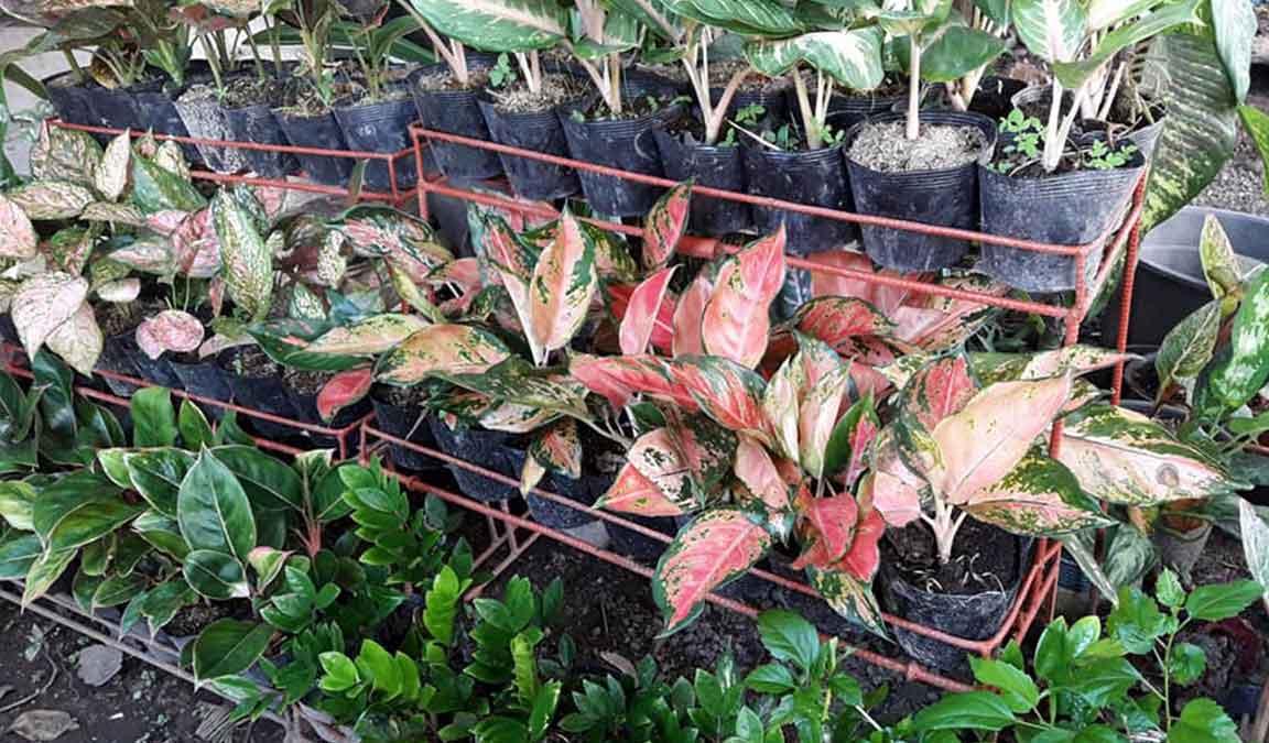 Tempat Jual Bunga Aglaonema Murah Dijamin Lengkap Dan Berkualitas Aplikasi Pertanian Media Agribisnis Gdm Agri