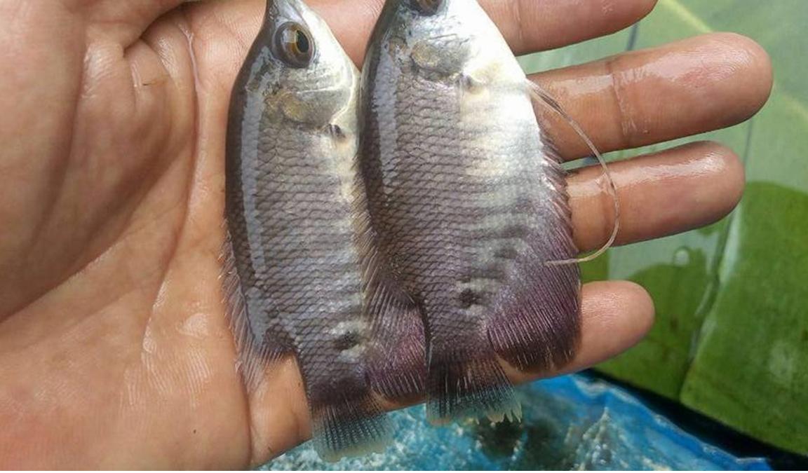 Cari Tau Tempat Jual Beli Bibit Ikan Gurame Paling Tepat Aplikasi Pertanian Media Agribisnis Gdm Agri