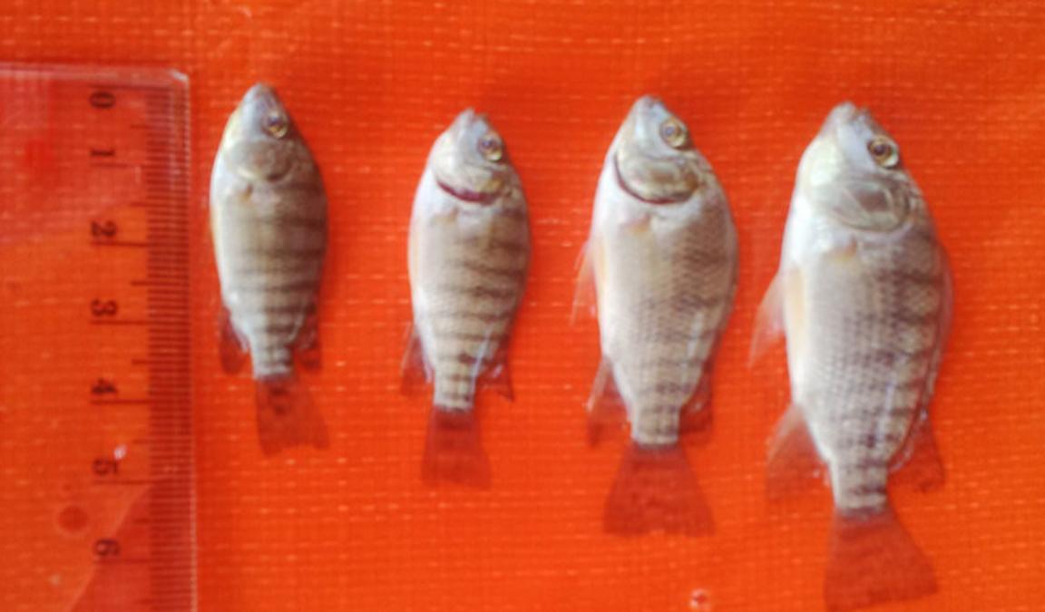 Update Terkini Daftar Harga Bibit Ikan Nila Kualitas Unggul Aplikasi Pertanian Media Agribisnis Gdm Agri