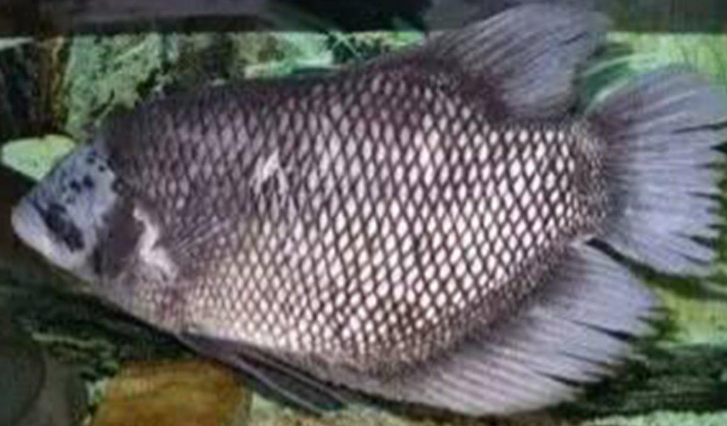Berapa Harga Jual Ikan Gurame Murah Terbaru 2021 Aplikasi Pertanian Media Agribisnis Gdm Agri