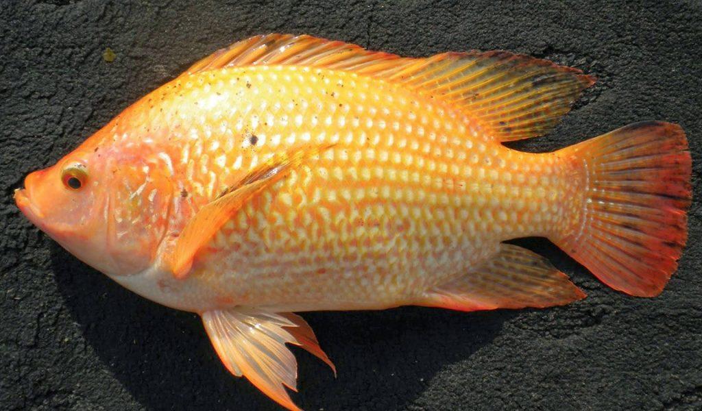Update Harga Jual Ikan Nila Segar Termurah 2021 Aplikasi Pertanian Media Agribisnis Gdm Agri