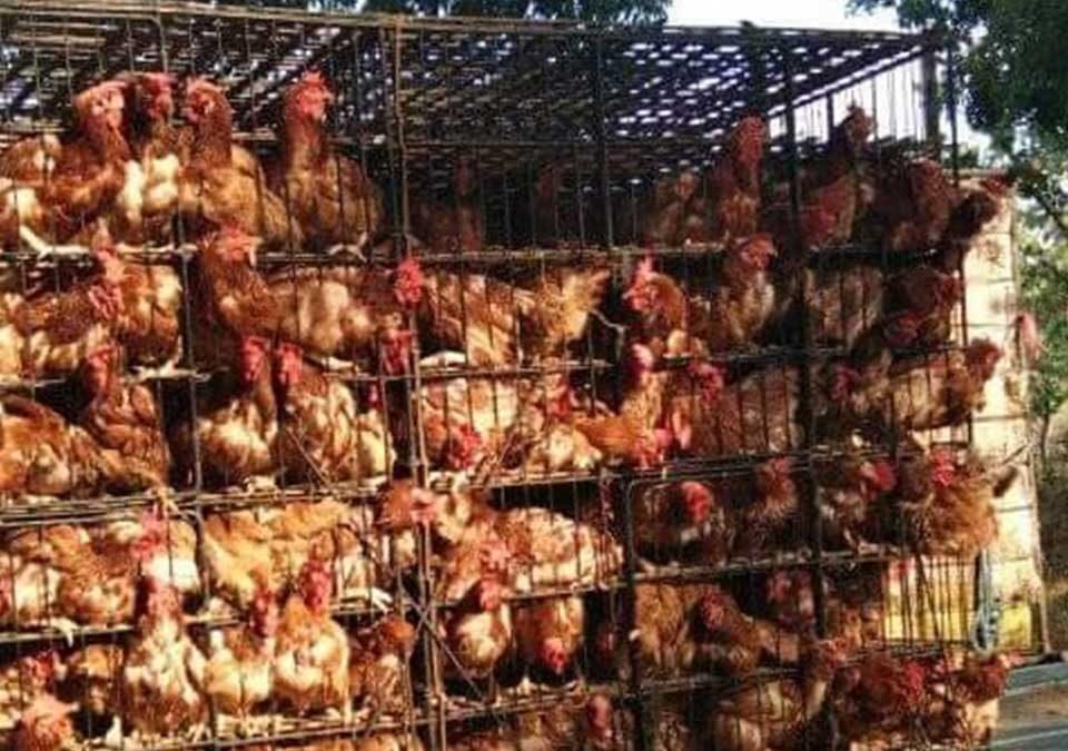 Tempat Jual Ayam Petelur Terbaik