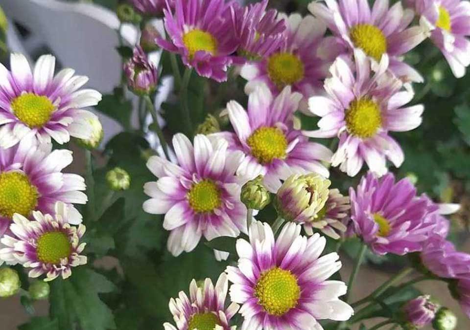 daftar harga bunga krisan