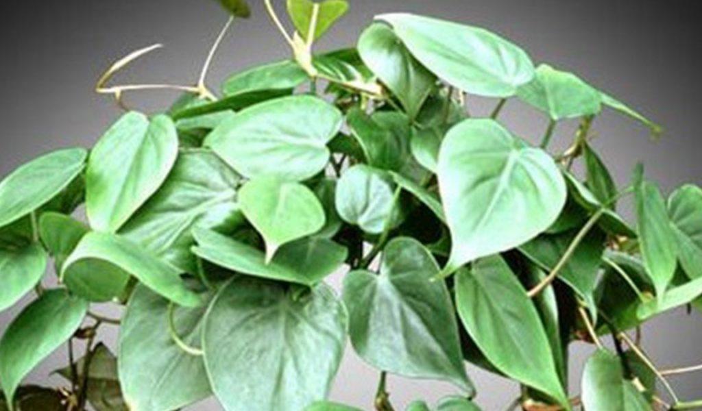 Philodendron Scandens Medio Pictum