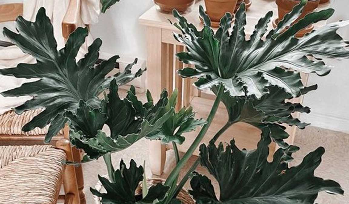 harga philodendron