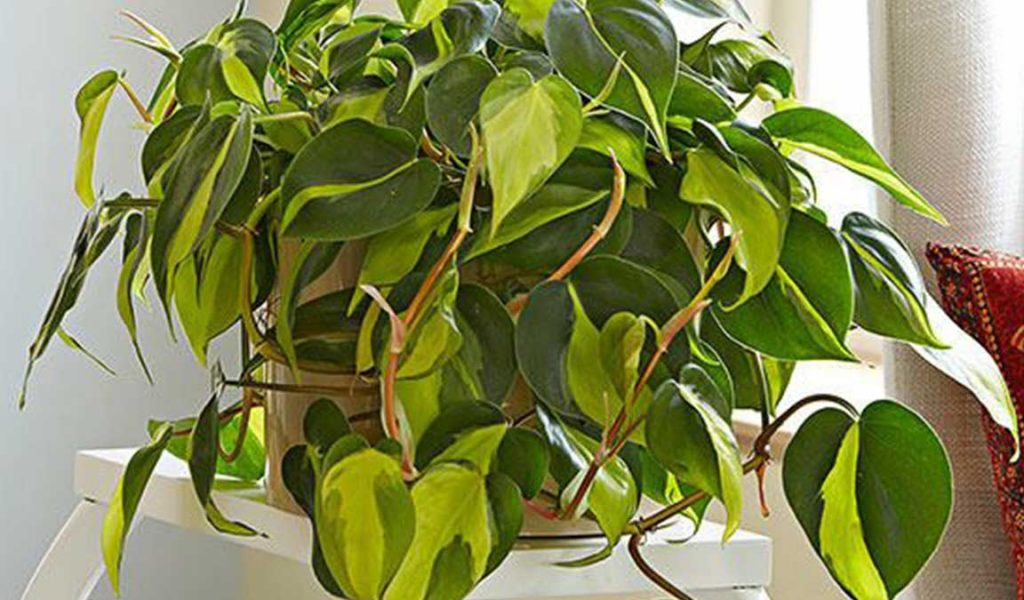 asal philodendron