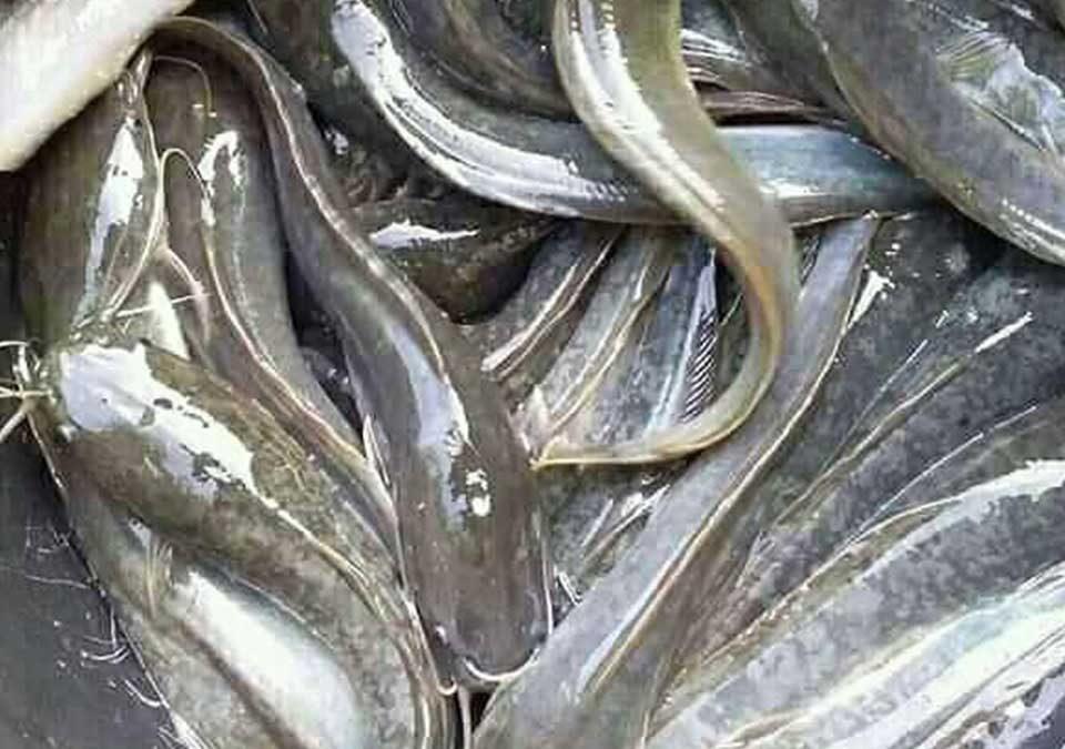harga ikan lele