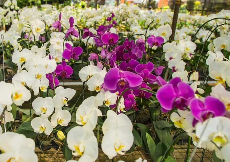 harga bunga anggrek