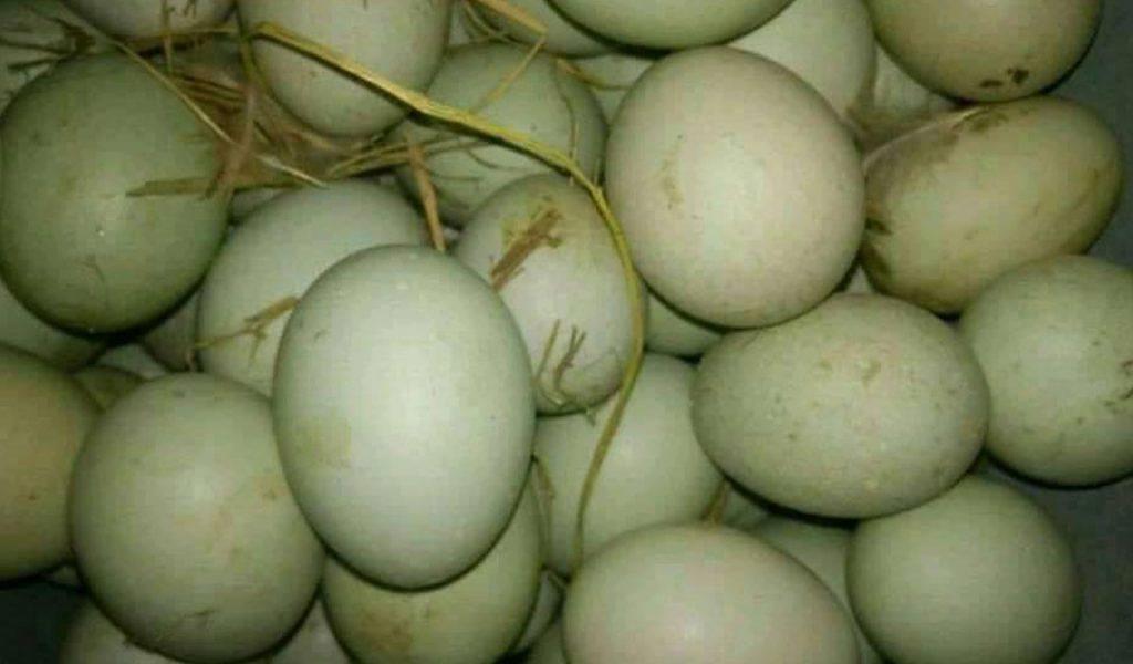 cara memilih telur bebek bagus
