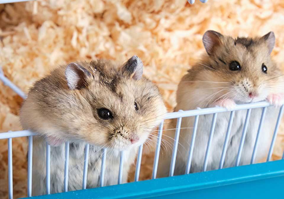 harga-hamster