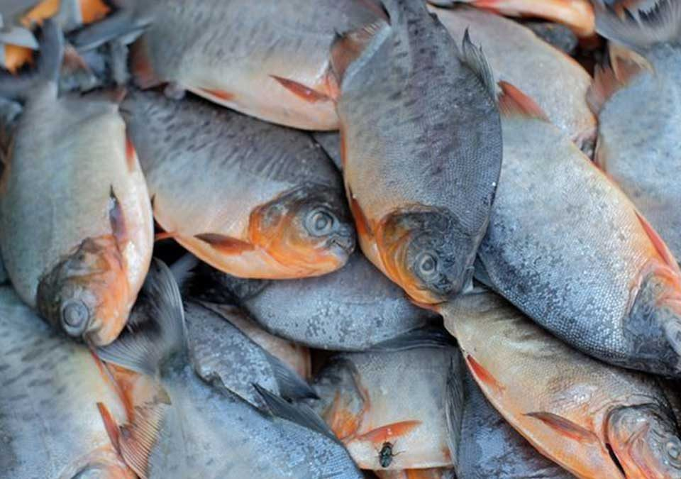 harga ikan bawal